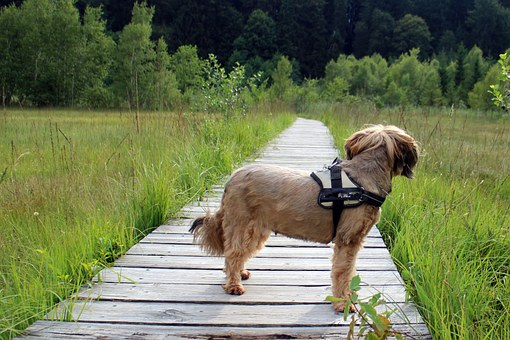 Dog, Terrier, Away, Path, Wait, Watch, Trail, Walk