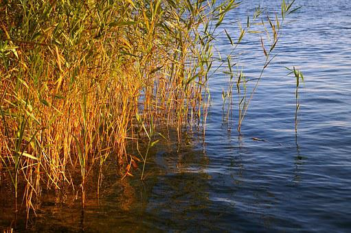 Reed, Bank, Water, Nature, Lake, Grass, Landscape