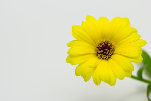 Calendula, Flower, Yellow, Colors, Nature, Spring