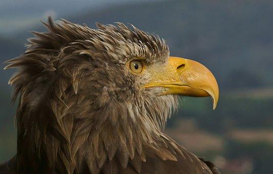 Adler, Giant Spotted Eagle, Bird Of Prey, Bill, Raptor