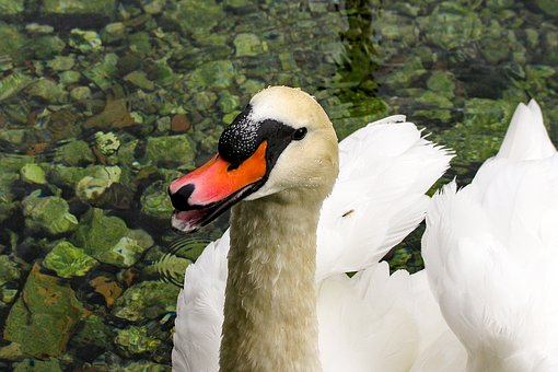 Swan, Cygnus, Portrait, Anatidi, White, Birds, Rome