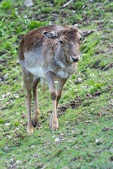 Roe Deer, Forest, Fallow Deer, Nature, Animal, Wild