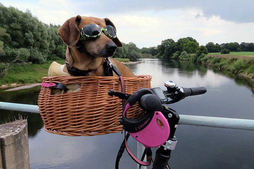 Dog, Dachshund, Dachshund Dog, Bike, Bike Ride