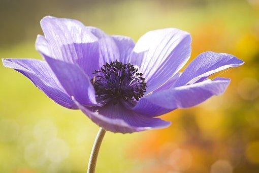 Anemone, Spring, Flower, Blossom, Bloom, Macro