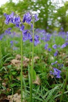 Bluebell, Bluebells, Winkworth Arboretum