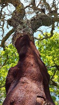 Cork Oak, Deciduous Tree, Quercus Suber, Mediterranean