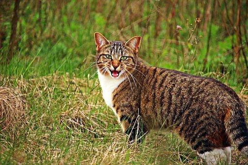 Cat, Kitten, Tiger Cat, Mackerel, Domestic Cat, Grass
