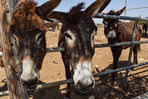 Donkeys, Curious, Funny, Donkey Farm, Animal