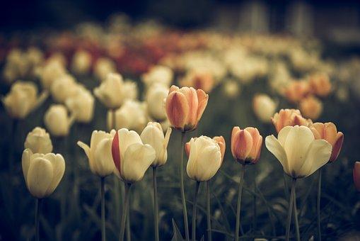 Vintage Look, Tulips, Faded, Flower, Blossom, Bloom