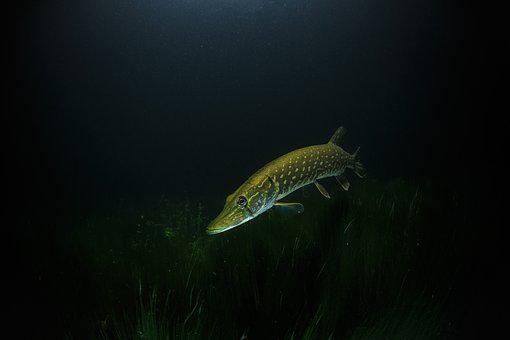 Pike, Night, Underwater, Dive, Fish