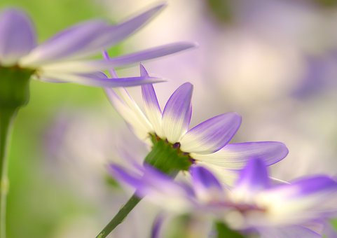 Senetti, Ash Flower, Flowers, Purple, White