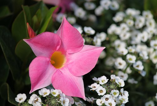 Dipladenia, Mandevilla, Crop, Funnel Like, Garden Plant