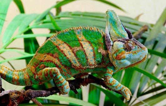 Chameleon, Reptile, Animal, Colour Splash, Green