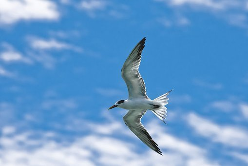 Bird, Common Tern, Flight, Sky, Widi Islands, Halmahera