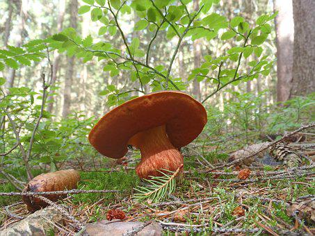 Fungus, Boletus, Mushroom Picking