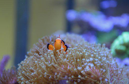 Fish, Water, Sea, Nemo, Clown Fish, Nature, Aquarium