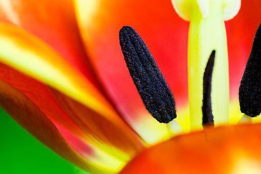 Tulip, Macro, Piestik Sticks, Flower