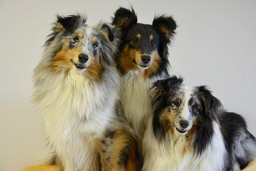 Shetland Sheepdog, Dogs, Portrait, Pets, Female