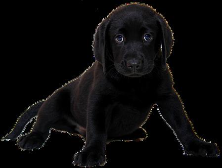 Isolated, Labrador, Dog, Animal, Purebred Dog, Puppy