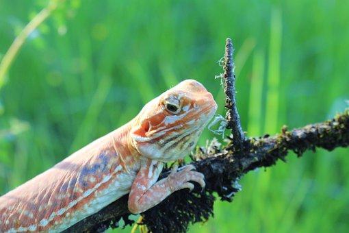 Lizard, Nature, Silk, Reptile, Eye, Head, Creature