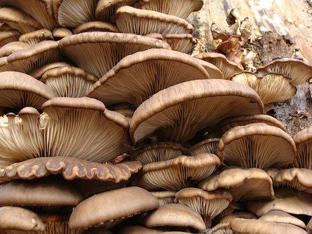 Pleorotus, Scrivia, Mushrooms