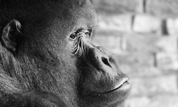 Gorilla, Silverback, Thinking, Ape, Monkey, Imposing