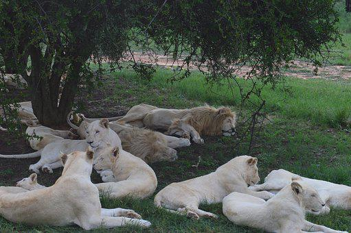 South Africa, Lions Park, White Lions
