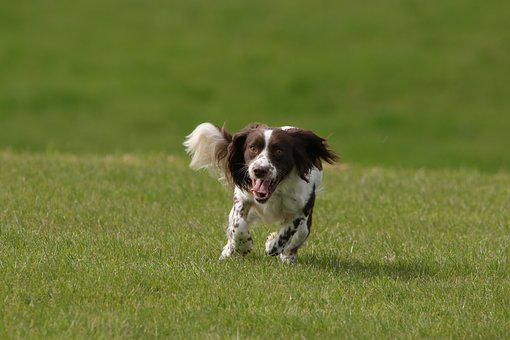 Dog, Springer, Spaniel, Pet, Animal, Canine, English