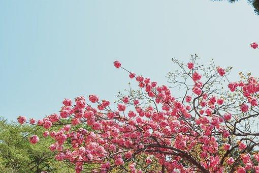 Fold Cherry, Flowers, Spring