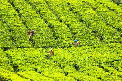Tea Pickers, Tea, Green, Farmer, Village, Work, Worker