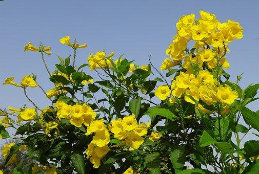 Flower, Yellow, Chestnutleaf Trumpetbush