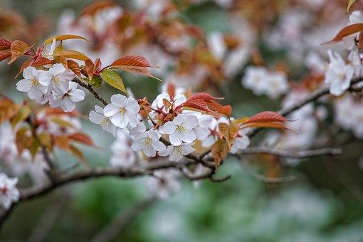 Flowers, Prunus Jamasakura, April, Japan