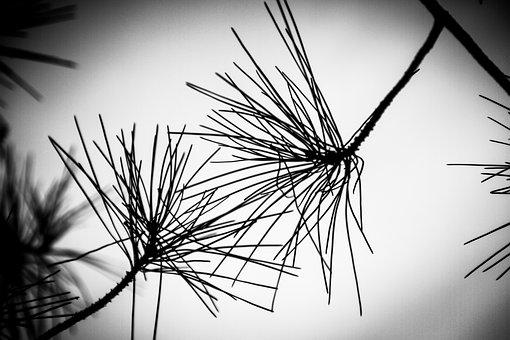 Against Day, Pine, Branches