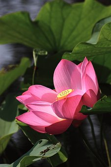 Lotus, Buddhism, Clear The Net, Red, Plant, Foliage
