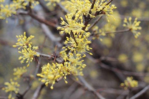 Yellow, Flower, Cornelian Cherry, Spring, Beautiful