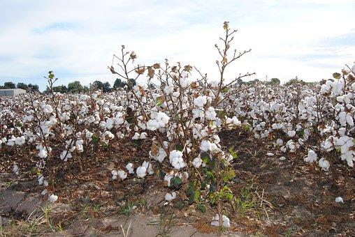Cotton, Agriculture, Field, Missouri, Harvest, Farming