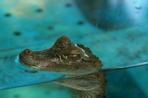 Crocodile, Cub Crocodile, Aquarium, Reptiles, Hair