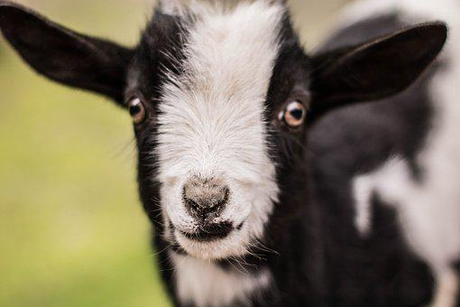 Kid, Goat, Baby, Baby Goat, Cute Goat, Goat Baby, Cute