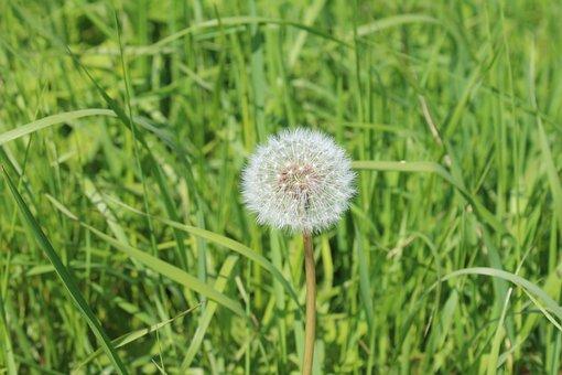 Dandelion, Seed Head, Grass, Taraxacum, Weed, Nature