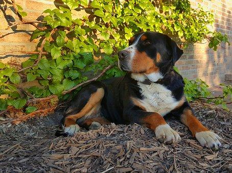 Schweizer Sennenhund, Dog, Black, Brown, Is, Lying Dog
