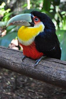 Birds, Tucano, Brazil, Bird, Nature, Large Spout