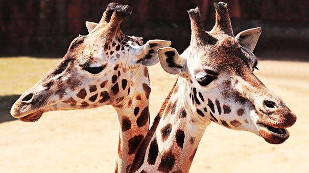 Giraffes, Animal, Mammal, Spotted, Zoo, Neck, Close