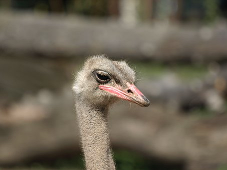 Ostrich, Zoo, The Head Of The, Closeup
