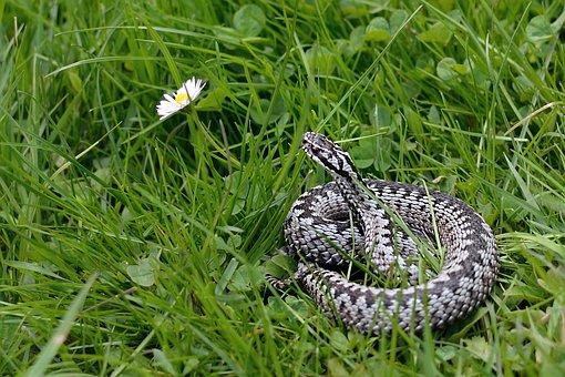 Snake, Viper General, Vipera Berus