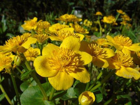 Caltha Palustris, Yellow, Flowers, Hahnenfußgewächs