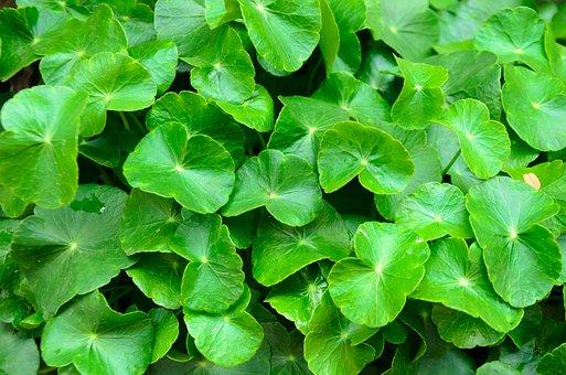 Pennywort, Green, Background, Rise Up, Leaf, The Herb