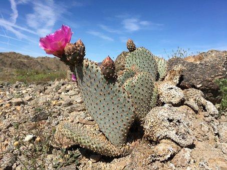 Beavertail, Cactus, Desert, Succulent