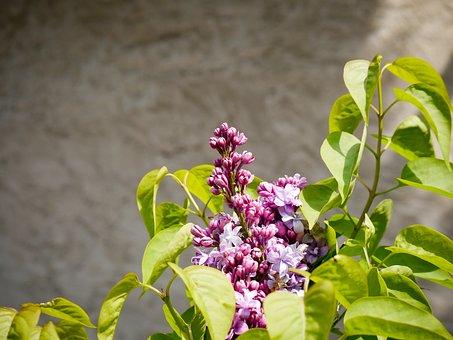 Lilac, Background, Spring, Purple, Violet, Plant, Bloom