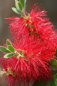 Bottle Brush, Plant, Bloom