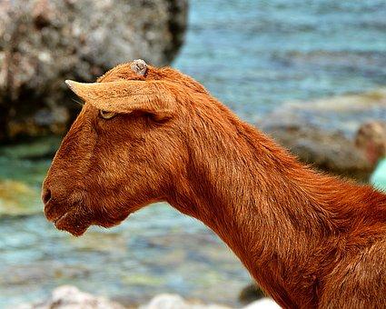 Goat, Brown, Wild, Goat's Head